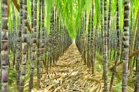 sugarcanefarm
