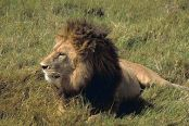 320px-Male_lion_African_lion